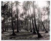 Palm Trees in Mayaro.jpg (177588 bytes)